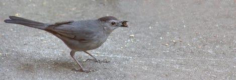 Catbird w/Pistachio nut Royalty Free Stock Image