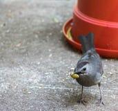Catbird w/Pistachio nut R side Royalty Free Stock Photo