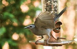 Catbird-Wings out. Catbird on a bird feeder with wings out and ready to fly Royalty Free Stock Images