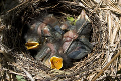 catbirds голодные Стоковое фото RF