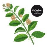 CatcallsUncaria tomentosa eller vilcacora medicinal växt Bota stock illustrationer