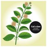 CatcallsUncaria tomentosa eller vilcacora medicinal växt Bota vektor illustrationer