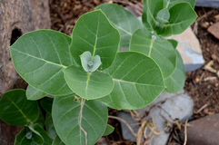 CatCalotropis gigantea植物 免版税库存照片