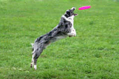 Catch!. Border collie catching a frisbee in air royalty free stock image