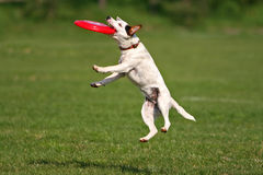 Catch!. A jack russel terier catching frisbee Stock Image