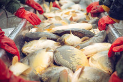 Catch biomass and manual sorting of fish Stock Images