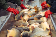 Catch biomass and manual sorting of fish Stock Photo