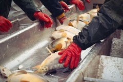 Catch biomass and manual sorting of fish Stock Photography