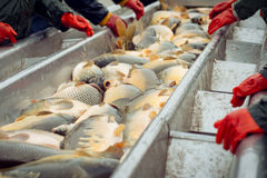 Catch biomass and manual sorting of fish Royalty Free Stock Image
