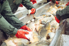 Catch biomass and manual sorting of fish Stock Photos