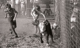 Catch that calf. Unidentified boys chase a calf during a small town rodeo, circa 1980 in Kingaroy, Australia Stock Photo