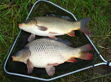 Catch carp Royalty Free Stock Photography