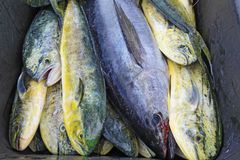 Catch of cobia and dolphin fish in North Carolina. A single black cobia (Rachycentron canadum) and numerous irridescent mahi-mahi or dolphinfish (Coryphaena Royalty Free Stock Photo