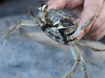 Catch a crab Royalty Free Stock Photos