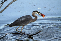 Catch Of The Day. Great Blue Heron catching a large Goldfish from a pond Royalty Free Stock Image