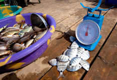 Catch of the day Royalty Free Stock Image