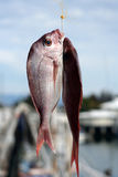 Catch of the day Royalty Free Stock Photography