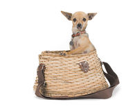 Catch of the day. Tiny chihuahua in a fishing creel Stock Image
