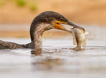 Catch of the day. Whitebreasted cormorant with huge fish, South Africa Stock Photo