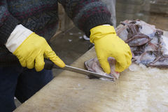 Catch of the Day. A pair of gloved hands filleting fresh fish Stock Image