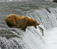 Catch of the day. This image was taken along the Brooks River in Katmai National Park, Alaska Stock Photos
