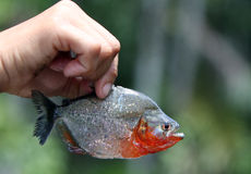 Catch of the day - an Amazon piranha. Being held up Stock Images