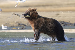 Catch of the day. Brown Bear with salmon in mouth Stock Photography