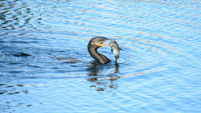 Catch Of The Day. A Cormorant and a catch fish enjoying a few minutes above water Royalty Free Stock Images