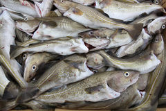 Catch of the Day Royalty Free Stock Photo