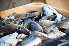 Catch of the day - Fresh Fish in Shipping Container Stock Images