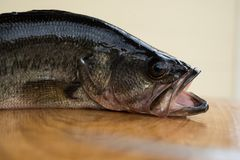 Catch of the day, largemouth bass Stock Photos
