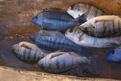 Catch of the day - Tilapia Stock Image