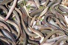 Catch of an eel fishing ship Stock Photos