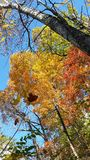 Catch falling leaf. Fall trees falling leaf Stock Photo