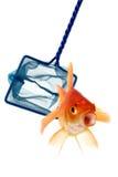 Catch the goldfish stock image