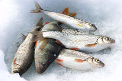 Catch on ice. Fish take on ice at winter Baikal royalty free stock photos