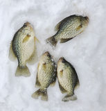 Catch of Ice Fishing Crappies Stock Images