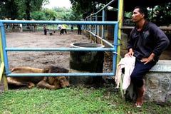Catch a lion Stock Photo