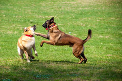 Catch me if you can. Two dogs from the shelter having fun Stock Photo