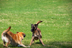 Catch me if you can. Two dogs from the shelter having fun Royalty Free Stock Photography