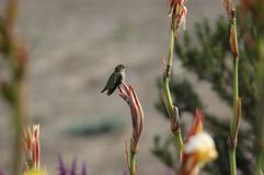 Catch Me Quick!. Hummingbird perched on a flower royalty free stock image