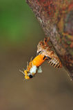 Cicada molting. Catch the moment, cicada molting stock image