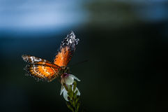 Catch the morning light. A shot of a butterfly feeds on flowers with the sunlight shine on its wings Royalty Free Stock Photos