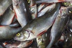 Catch of perch (Perca fluviatilis) Stock Images