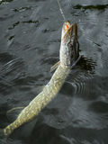 Catch a Pike! Royalty Free Stock Photography