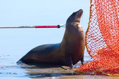 Catch pole on Harbour Seal. Rescued Harbor Seal, is captured with a catch pole and nursed back to health and returned to the wild by a team of experts Royalty Free Stock Photo