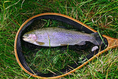 The catch rainbow trout Stock Photos