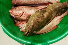 Catch red snapper close up, top view.  Royalty Free Stock Photos