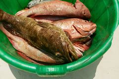 Catch red snapper close up, top view Royalty Free Stock Images