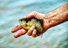 Catch and Release. A gritty senior fisherman's hand gets ready to release a fish that he has just caught at the lake Royalty Free Stock Photo
